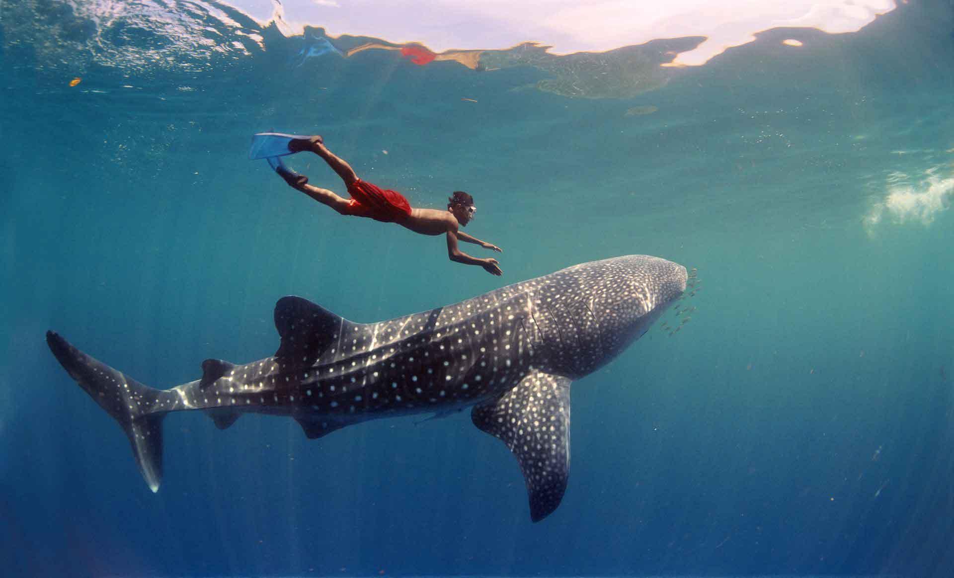 nadar-con-tiburon-ballena-riviera-maya-sl-1-o