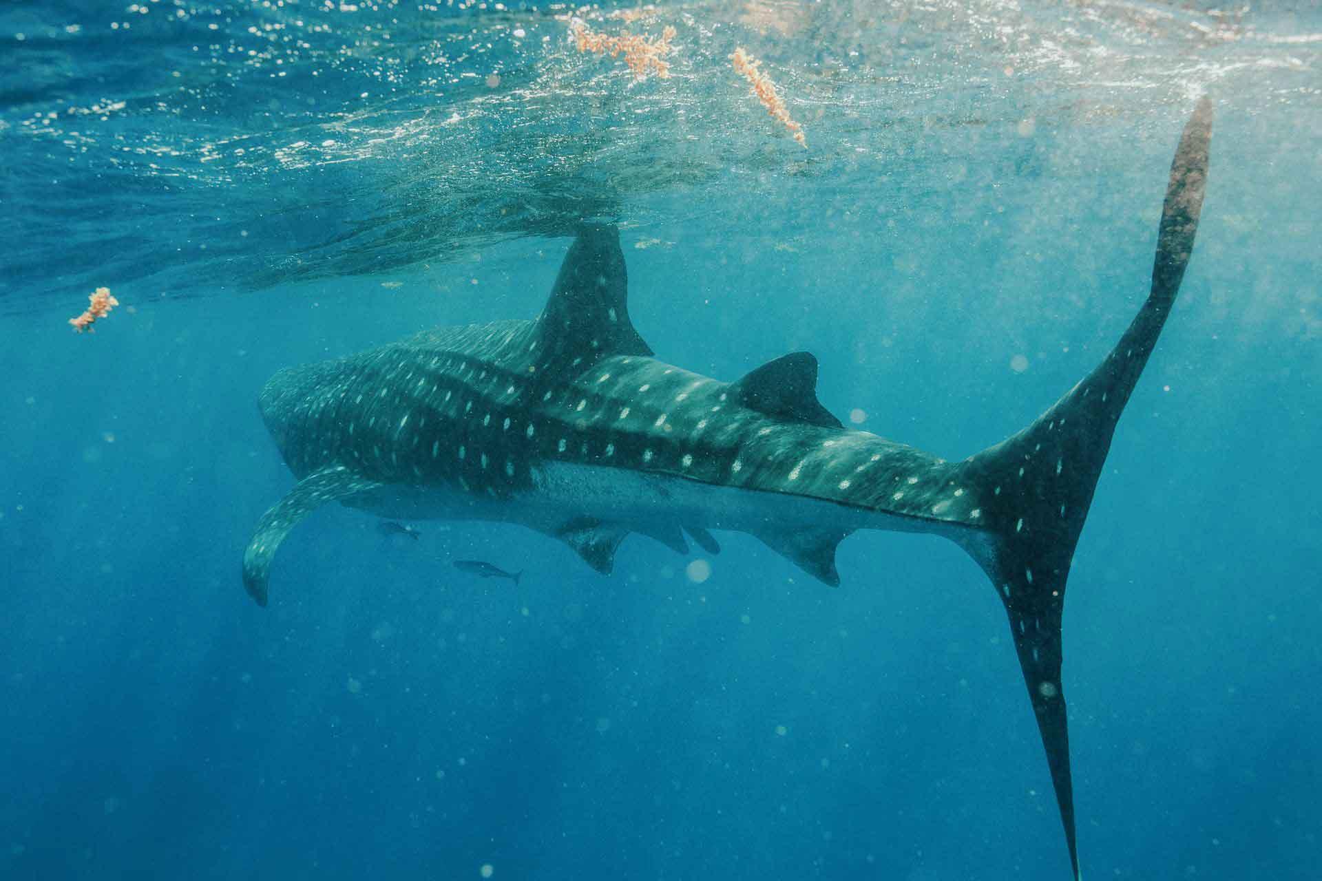 nadar-con-tiburon-ballena-riviera-maya-sl-2-o